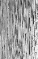 LEGUMINOSAE CAESALPINIOIDEAE Mimosoid Clade Albizia pedicellaris