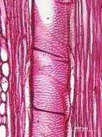 CAPPARACEAE Isomeris arborea