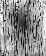 MYRTACEAE Eucalyptus salubris