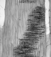 SAPINDACEAE Acer pensylvanicum