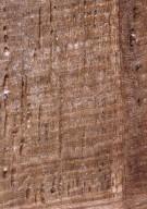 FAGACEAE Quercus robur