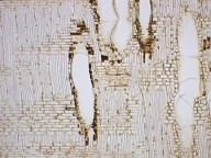 EBENACEAE Diospyros virginiana