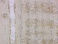 IRVINGIACEAE Irvingia gabonensis
