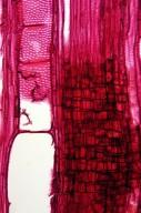 ARISTOLOCHIACEAE Aristolochia kaempferi