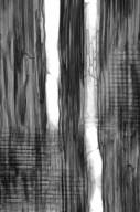 SAPINDACEAE Acer rufinerve