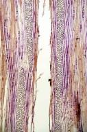 CELASTRACEAE Celastrus orbiculatus