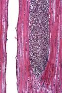 FAGACEAE Quercus salicina