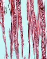 HYDRANGEACEAE Pileostegia viburnoides