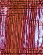 JUGLANDACEAE Platycarya strobilacea