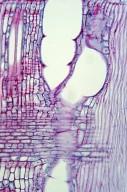 OLEACEAE Fraxinus sieboldiana