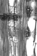 LEGUMINOSAE MIMOSOIDEAE Leucaena leucocephala