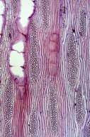 LEGUMINOSAE PAPILIONOIDEAE Cladrastis platycarpa