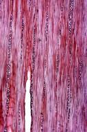LEGUMINOSAE PAPILIONOIDEAE Lespedeza homoloba