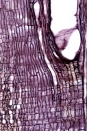 MENISPERMACEAE Cocculus trilobus