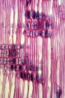 ERICACEAE Menziesia cilicalyx