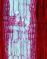 CANNABACEAE Celtis jessoensis