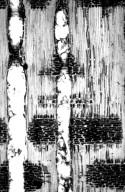 ANACARDIACEAE Koordersiodendron pinnatum