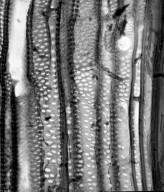 CORIARIACEAE Coriaria ruscifolia