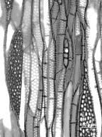 ULMACEAE Ulmus davidiana
