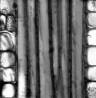 SOLANACEAE Duckeodendron cestroides