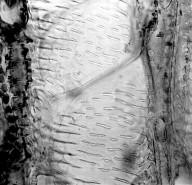 SOLANACEAE Nothocestrum breviflorum