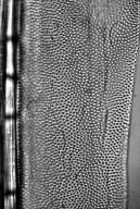 ANNONACEAE Polyalthia suaveolens