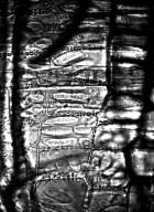 BURSERACEAE Canarium schweinfurtii