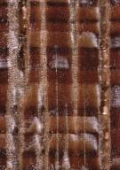 LEGUMINOSAE CAESALPINIOIDEAE Koompassia malaccensis