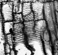 MALESHERBIACEAE Malesherbia linearifolia