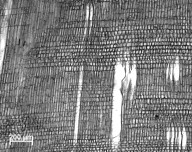 MALVACEAE GREWIOIDEAE Glyphaea brevis