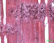 CANELLACEAE Warburgia ugandensis