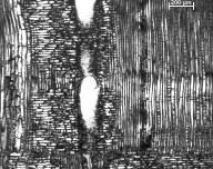LEGUMINOSAE CAESALPINIOIDEAE Copaifera salikounda