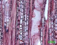 LEGUMINOSAE CAESALPINIOIDEAE Julbernardia globiflora