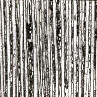 AMBORELLACEAE Amborella trichopoda
