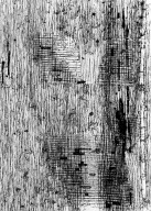 BIGNONIACEAE Markhamia lutea