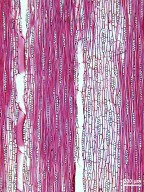 OLEACEAE Fraxinus uhdei