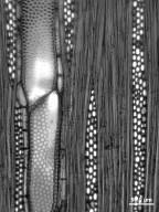 ULMACEAE Ampelocera hottlei