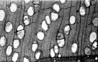 JUGLANDACEAE Pterocaryoxylon knowltonii