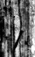 BETULACEAE Alnus latissima