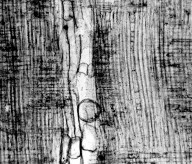 BETULACEAE Carpinus saximontana