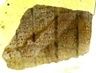 FAGACEAE Quercoxylon compactum
