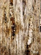 LEGUMINOSAE CAESALPINIOIDEAE Mimosoid Clade Albizia vantagiensis