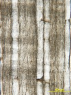 BETULACEAE Betula scammonii