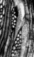 MIMOSOIDEAE cf. Euacacioxylon sp