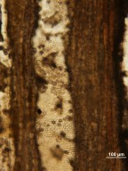 JUGLANDACEAE Rhysocaryoxylon fryxellii