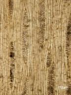 LEGUMINOSAE CAESALPINIOIDEAE Mimosoid Clade Dichrostachyoxylon occidentale