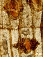 MIMOSOIDEAE Dichrostachyoxylon occidentale