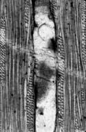 LEGUMINOSAE CAESALPINIOIDEAE Mimosoid Clade cf. Mimosoxylon sp.
