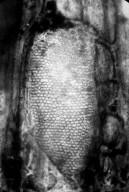 FAMILY? Nut Beds Xylotype I-A 4