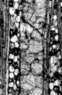 FAMILY? cf. Paraphyllanthoxylon arizonense